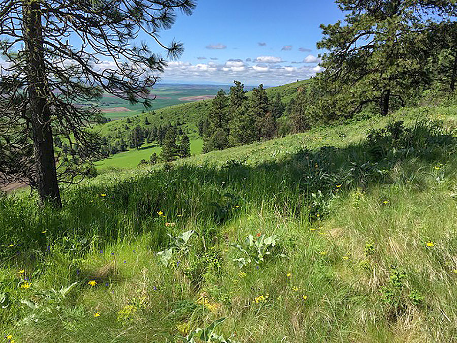Photo: Kamiak Butte, a remnant portion of the Palouse Prairie, illustrates what land restored to native prairie may look like